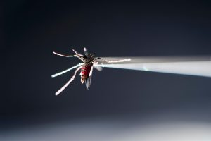 A picture of vacuum tube holding a blood-fed strain of Aedes aegypti mosquito under a microscope